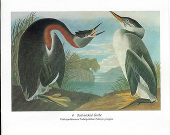 Audubon Red Necked Grebe or Red Throated Loon for Framing, Collage, Altered Art, Paper Arts and MORE PSS 2760
