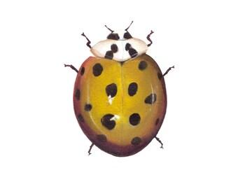 "Yellow Spotted Lady Beetle - Beetle art print, 8.5"" x 11""."