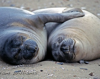 Elephant Seals in Love - 8 x 12 Photographic Print