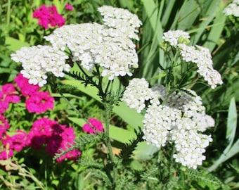 Dried Yarrow Flowers, Achillea Millefolium, Medicinal Herb, Herbal Tea, NH Grown Organic Dried Flowers, Herbal Remedy, Wiccan Ritual Herb