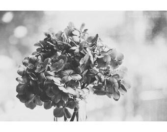Still Life Photography Black and White Hydrangea Art Print Nature Photo Dreamy Photography Rustic Decor Dark Flower Botanical Floral
