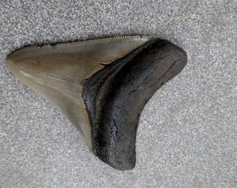 "3""   Megalodon Shark Tooth"