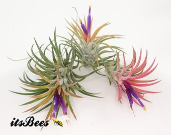 Single Air Plant - Growers Best Pick - Air Plants, Tillandsia, Ionantha, Aeranthos - FREE SHIPPING