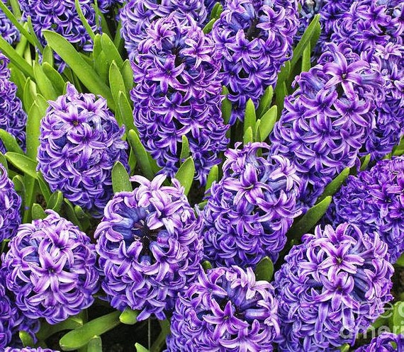 Plant a hyacinth bulb ready to grow prechilled hyacinth bulb gift pre potted just add water - Planting hyacinths indoors ...