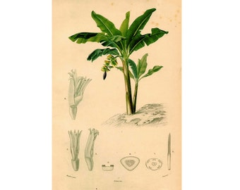 1861 BANANA TREE ENGRAVING original antique botanical flower print - caladium bicolor