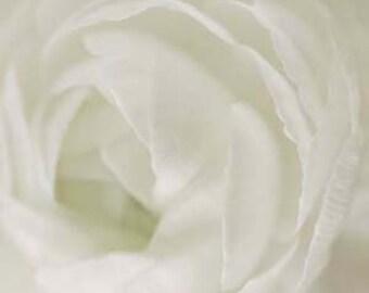 Ranunculus Print, White, Flower Photography, Large Wall Art, White Ranunculus, Minimalist Bedroom Wall Art