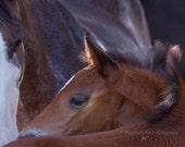 Horse Eye, foal, Spanish horse, horse art, rare endangered, brown, earth tones, horse decor, Pilar, southwestern decor, Arizona, FastWinn