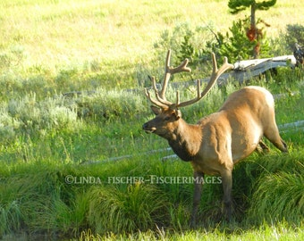 Male Elk Nature Wall Art Home Decor Animal Antlers Photo Image Digital Download Fine Art Photography Linda Fischer Fischerimages