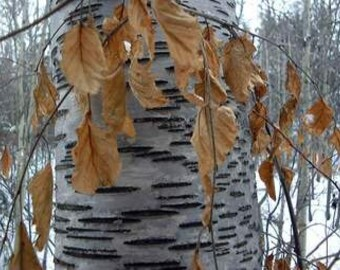 Birch Bark and Bud Liniment