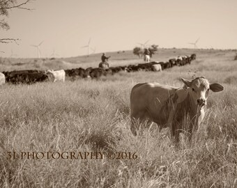 Cow Photography Fine Art Photography Prints Texas Cows Rustic Home Decor American West Art