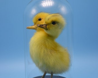 taxidermy duck  two head freak duckling mounted in glass dome and case,good gifts