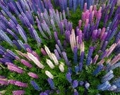 Ideal for Fall Planting DOUBLE ORDER - Plant 500x2 - 1000! Wild MAINE Lupine this Fall, the same time Mother Nature does!