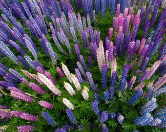 SUMMER SALE! 50-500 Wild MAINE Lupine Seed. Plant Wild Perennial Lupine -Lupinus Perennis for vibrant colors that return year after year. :)
