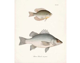 Vintage Fish Natural History Gicle Art Print Plate VII