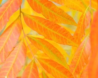 Autumn Photography- Orange Yellow Fall Leaves Print, Botanical Art Print, Autumn Leaves Photo, Amber Gold Wall Decor, Fall Tree Wall Art