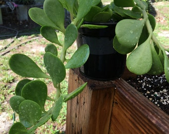 Trailing Jade - Senecio jacobsenii Live Plant, Succulent, Great for Baskets