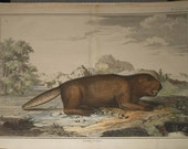 Antique beaver print 1758 from perrault-duflos