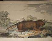 Antique beaver print 1758 from perrault-duflos