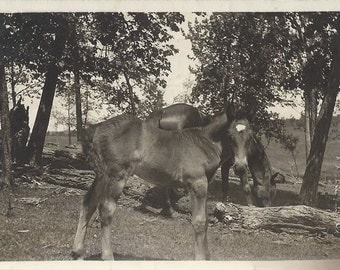 As I Find Them - Antique 1910s Silver Gelatin Print Mare and Foal Photograph