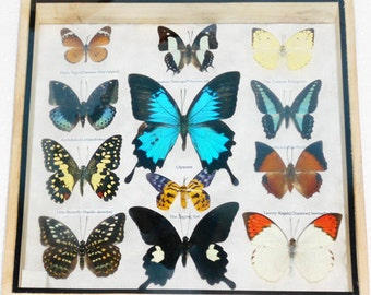 Real 12 Mix Butterfly for sale in wood frame Taxidermy / B01M