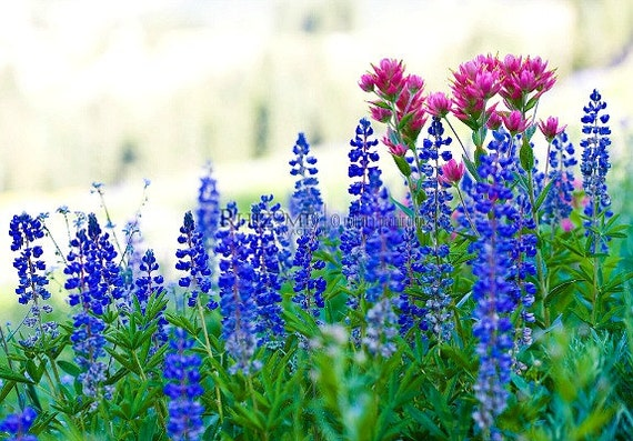Wild Blue Lupine 50 bulk seeds thrives any zone drought