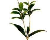 """Sweet Olive Tree Osmanthus - 4"""" Pot"""
