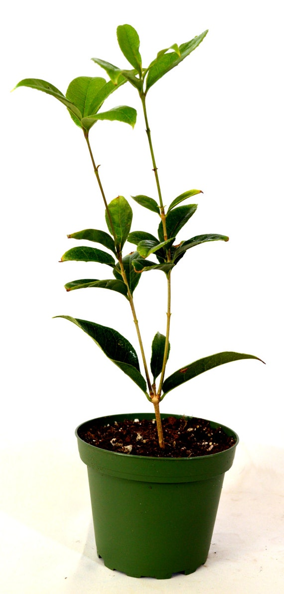 Sweet olive tree osmanthus 4 pot for Olive trees in pots winter care