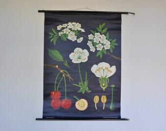 Original Mid Century Botany Print. Cherries. Pull Down School Chart. Jung Koch Quentell. Germany. 1195