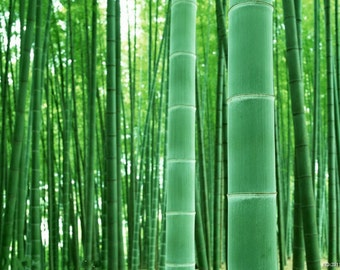 Moso Bamboo Seeds, 25 Seeds, Grow Your Own Bamboo!