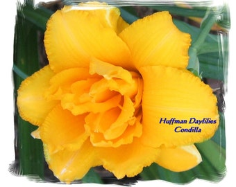 "Daylily, ""CONDILLA"", double fan"