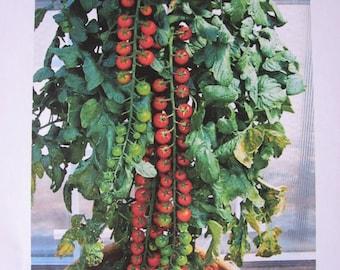 10 Rapunzel Hybrid Tomato Seeds