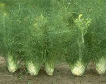 FENNEL VEGETABLE SEEDS 10 herb seeds ready to plant in your garden