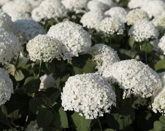 Snowy Hydrangeas