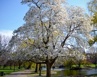 Boston Common Magnolias in the Spring Photograph