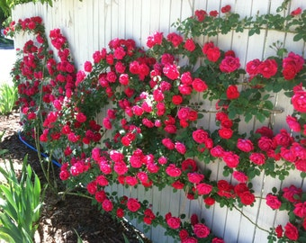 Climbing fuksia roses,381, fuksia rose,roses seeds,planting roses,growing roses from seeds