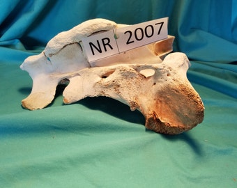 Cow Sacrum - Cow Bone - Cow Tail Bone - NR2007