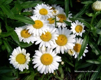 Daisy photo, white flowers, 5x7 floral photo spring decor, perennial daisies gift for her rustic home decor, summer garden, cheerful flowers