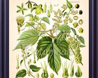 Kohler Botanical Print 8x10 Antique Art Vintage Plate HUMULUS LUPULUS Common Hop Plant Medicinal Plants 1887 Kitchen Wall Art Decor BF0746