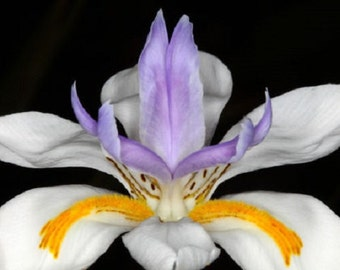 30+ African Iris / Butterfly Iris / Hardy Drought and Frost Resistant / Flower Seeds