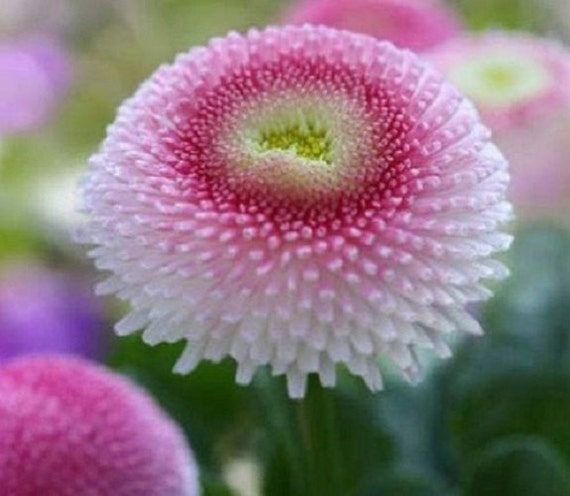 50 bellis english daisy strawberries and cream perennial Where did daisies originate