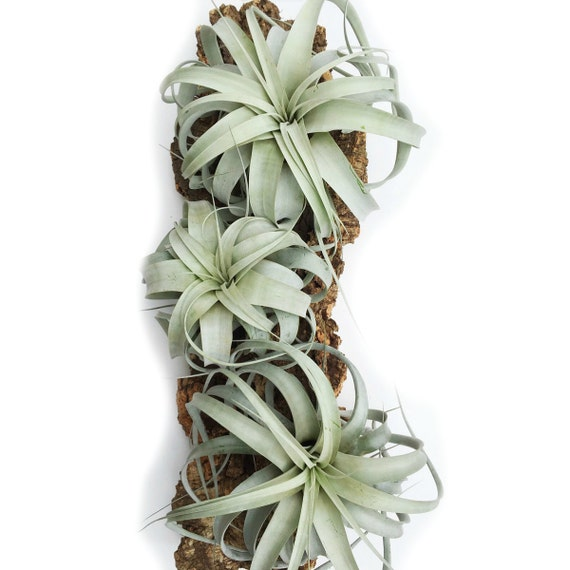 Air plants wholesale xerographica air plants set of 6 large air