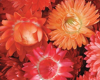 Strawflower Apricot & Peach Mix * Everlasting! 35 Seeds