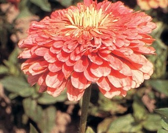 Zinnia Gigantica Salmon Rose * 25 Seeds