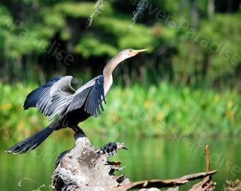 Anhinga Photograph // Florida Bird Photo Print