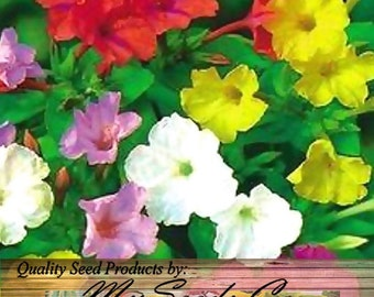 4 O'clock Mix FRAGRANT Mirabillis jalapa FLOWER Seeds ~ Marvel Of Peru