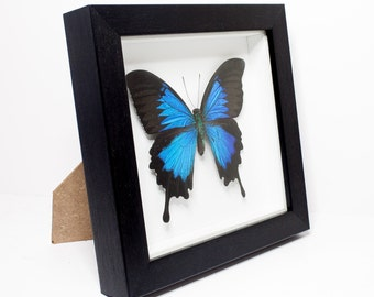 REAL Blue Ulysses Butterfly Framed (Papilio ulysses) UK - nature, beauty, insect