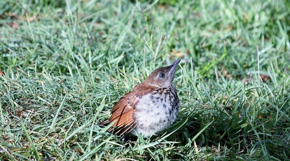 Baby Brown Thrasher Bird Photography