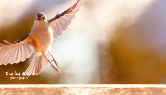 In Flight Backyard Bird Original Photography