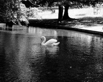 Black & White Swan Landscape Print