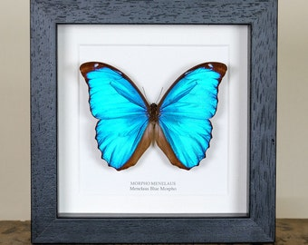 Menelaus Blue Morpho Butterfly in Black or White Box Frame (Morpho Menelaus) Butterfly Frame